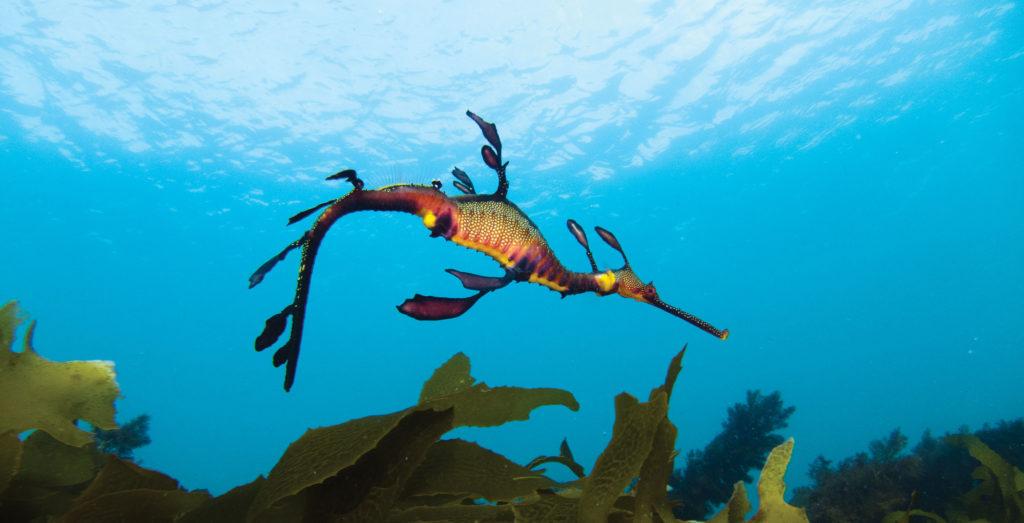 Underwater image of a weedy seadragon