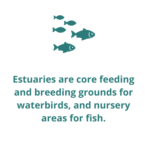 Estuaries are core feeding and breeding grounds for waterbirds, and nursery areas for fish.