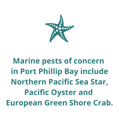 Marine pests of concern  in Port Phillip Bay include Northern Pacific Sea Star, Pacific Oyster and  European Green Shore Crab.