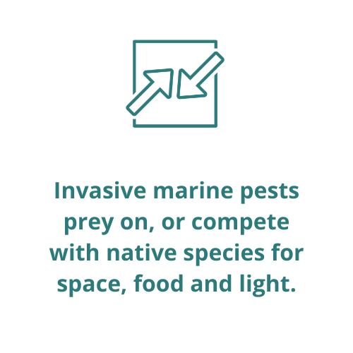 Invasive marine pests prey on, or compete with native species for space, food and light.