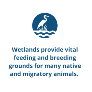 Wetlands provide vital feeding and breeding grounds for many native and migratory animals.