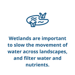Wetlands are important to slow the movement of water across landscapes, and filter water and nutrients.